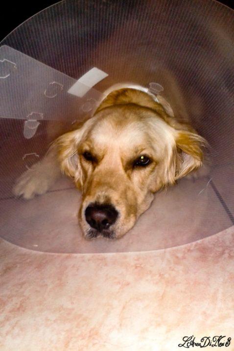 Quando il cane si ammala sempre dopo un viaggio: il collare elisabettiano