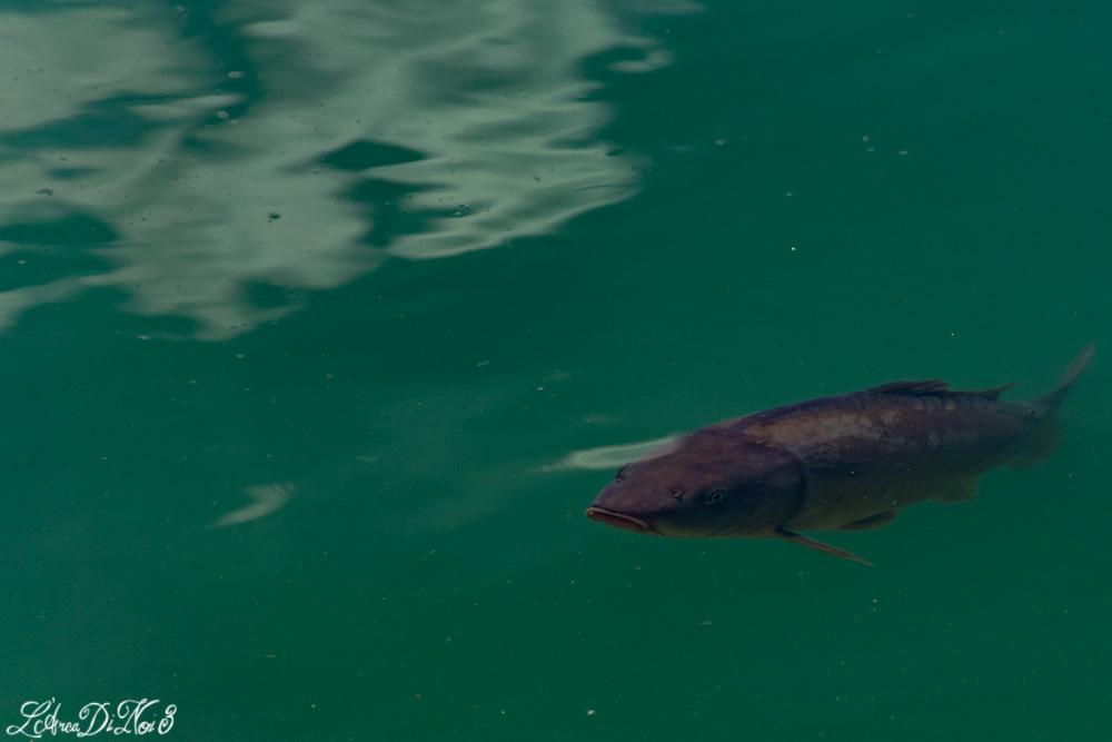 Capo di Ponte pesca sportiva carpa