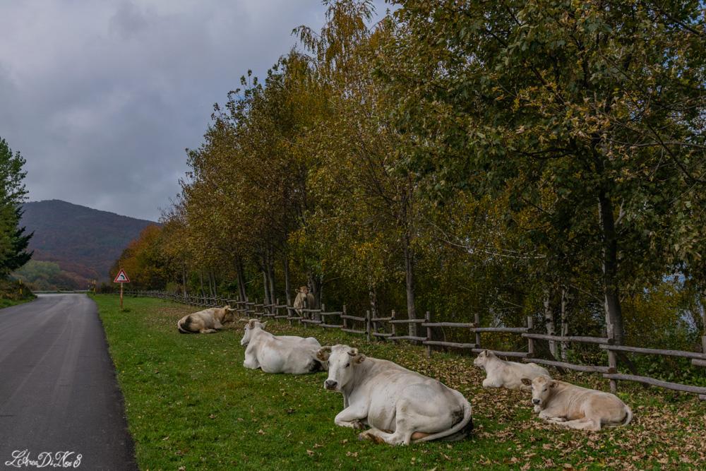 Campotosto mucche