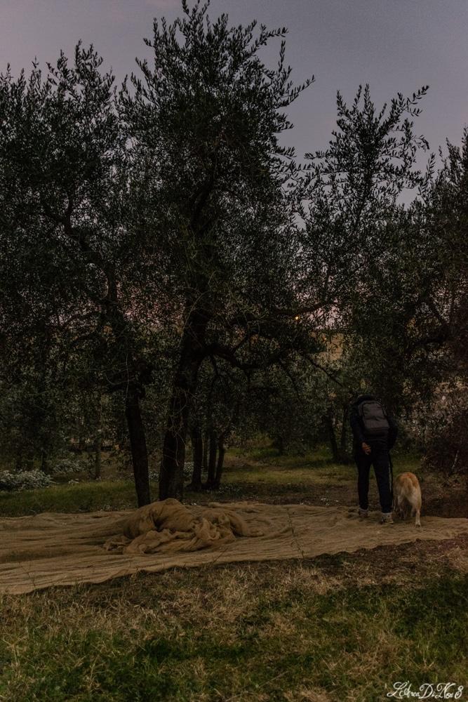 Lucignano ulivi