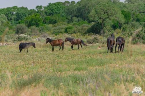 Altopiano della Giara cavallini selvaggi